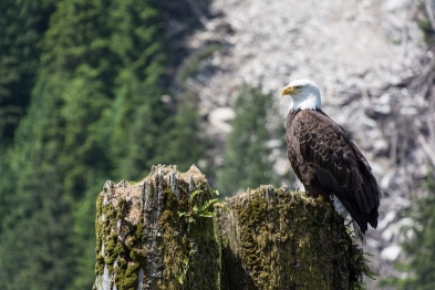 Eagle at Indian River